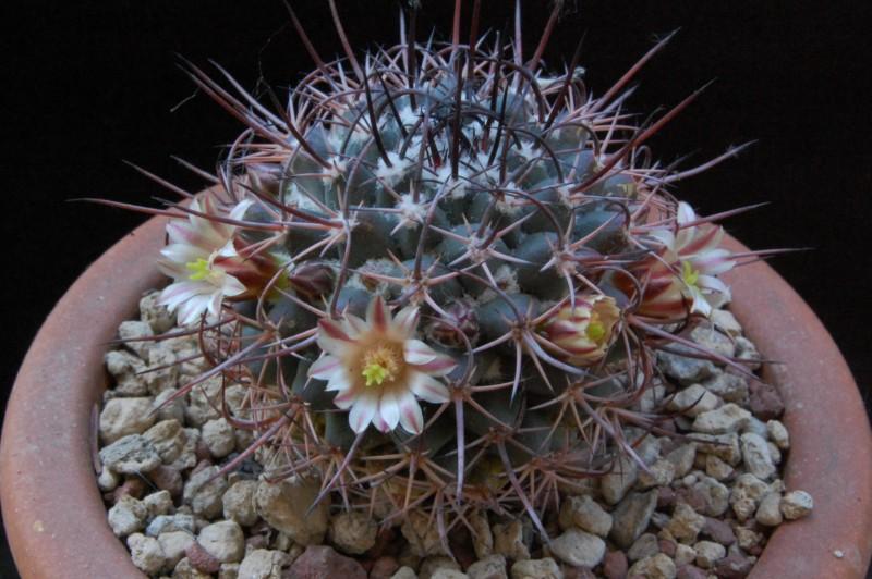 Mammillaria wagneriana 5150-211
