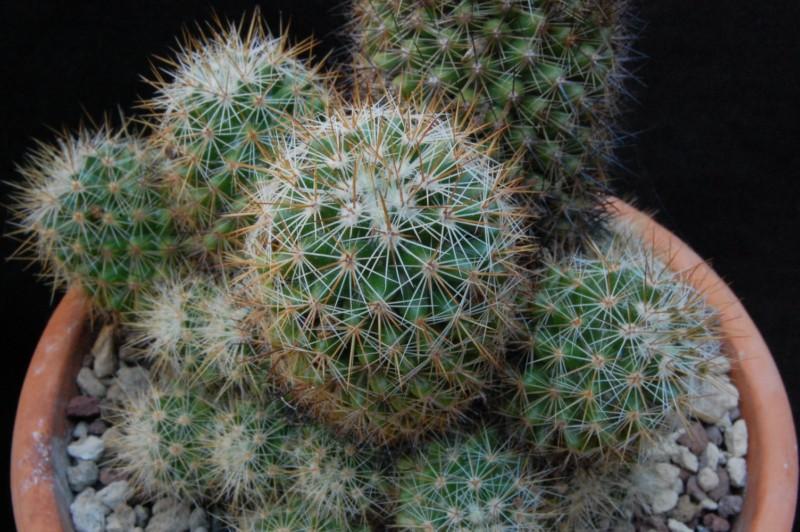 Mammillaria duoformis 6176-212