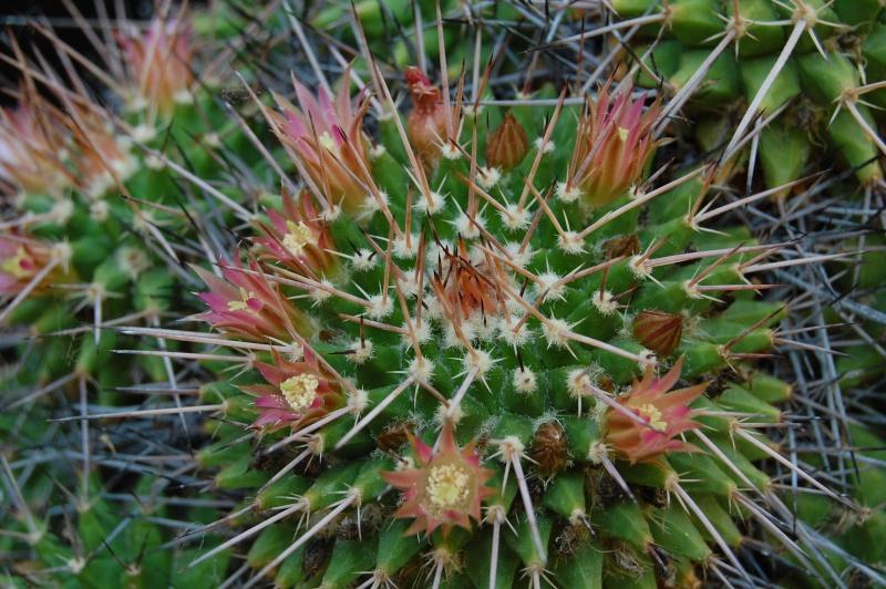 Mammillaria polyedra 6184-213