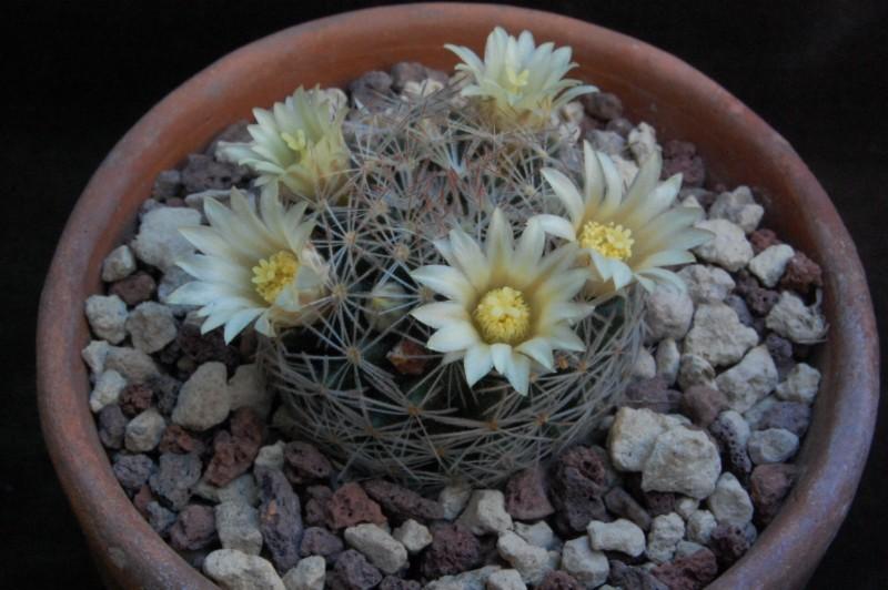 Mammillaria picta 6245-l12