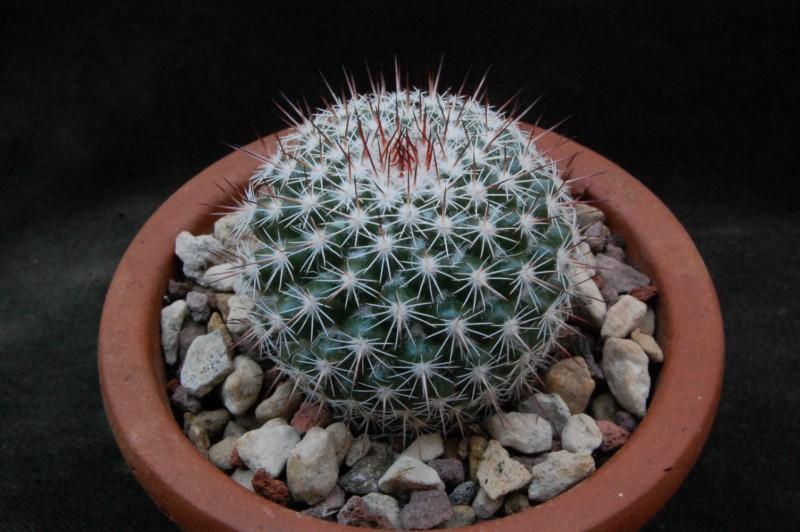 Mammillaria scrippsiana 6312-210