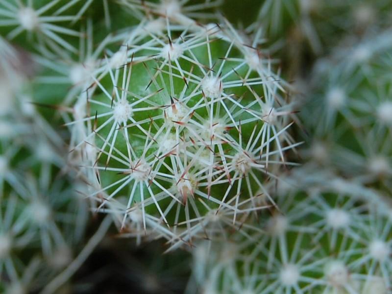 Mammillaria sphacelata 6414-212
