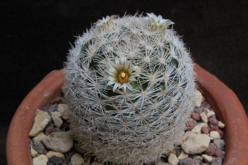 Mammillaria wohlschlageri 6424-210