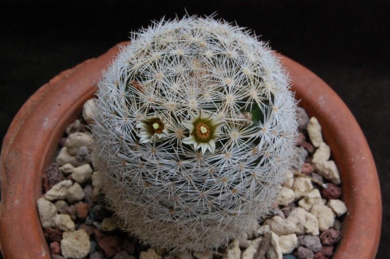 Mammillaria wohlschlageri 6424-211