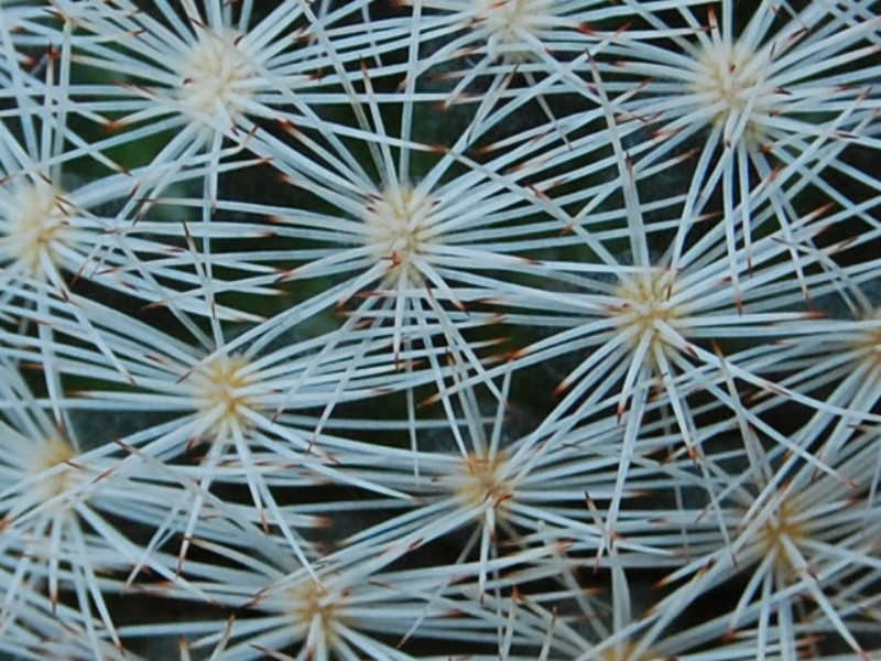 Mammillaria wohlschlageri 6424-212