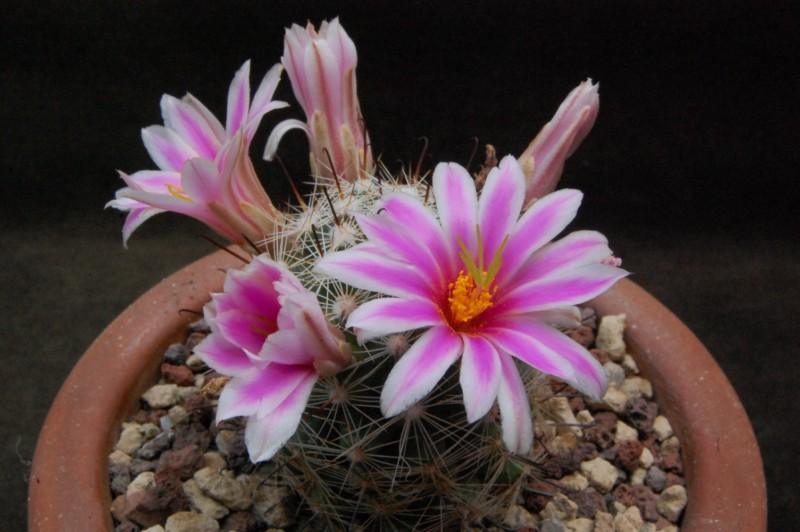 Mammillaria insularis 6429-210