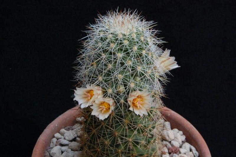 Mammillaria phitauiana 6503-210
