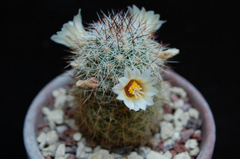 Mammillaria phitauiana 6504-210