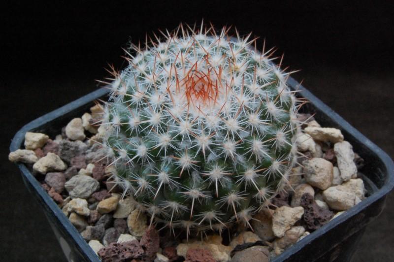 Mammillaria scrippsiana 7219-210