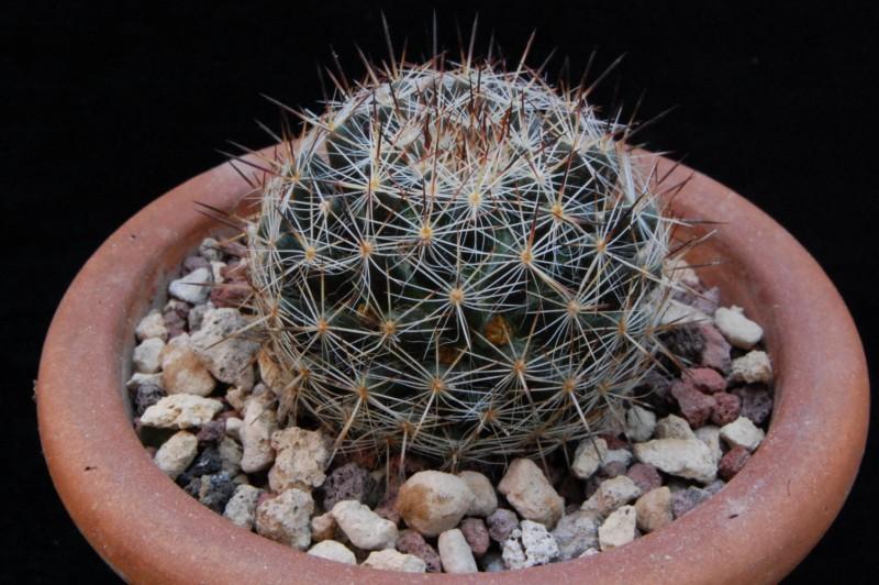 Mammillaria picta 7320-l12