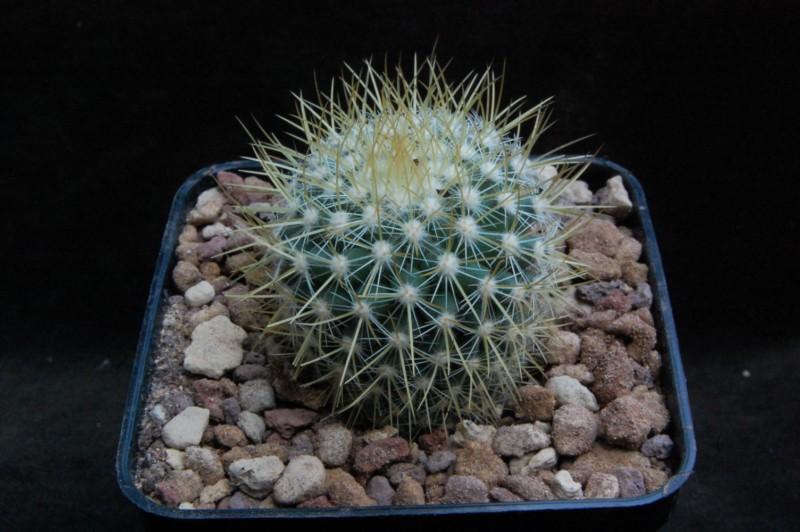 Mammillaria rhodantha 7330-212