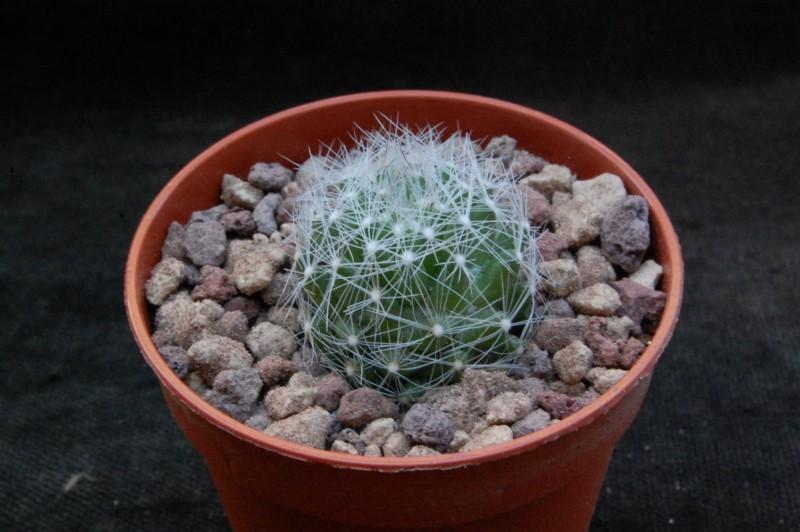 Mammillaria kraehenbuehlii 7370-210