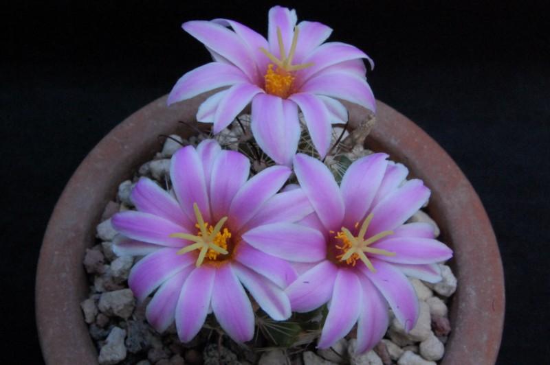 Mammillaria insularis 7384-212