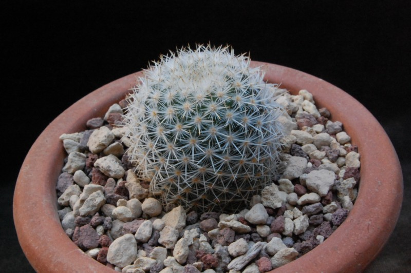 Mammillaria supertexta 7405-211