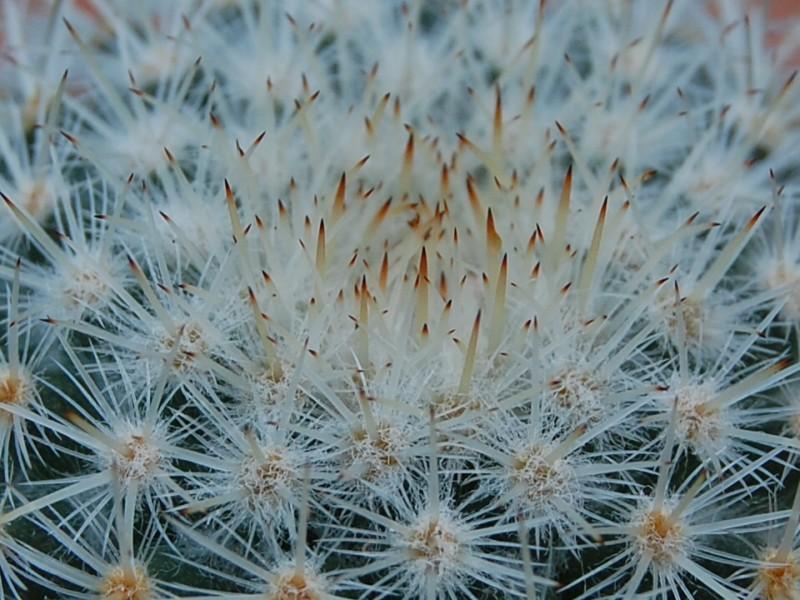 Mammillaria supertexta 7405-212