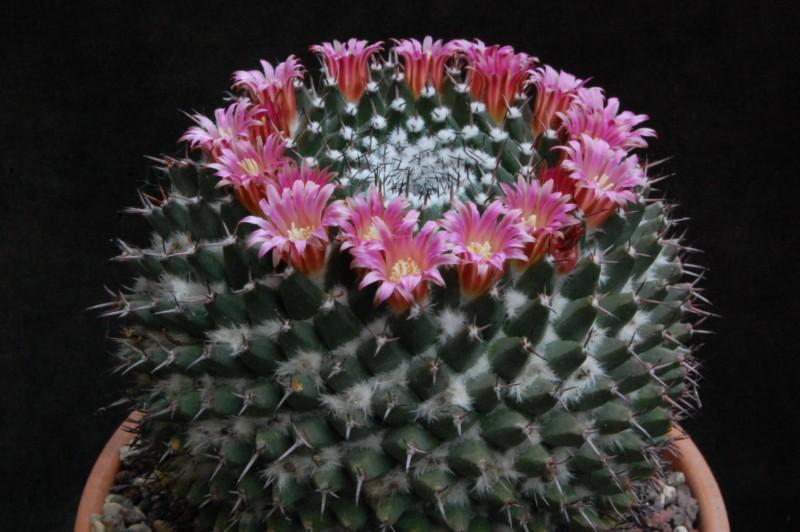 Mammillaria polyedra 7452-210
