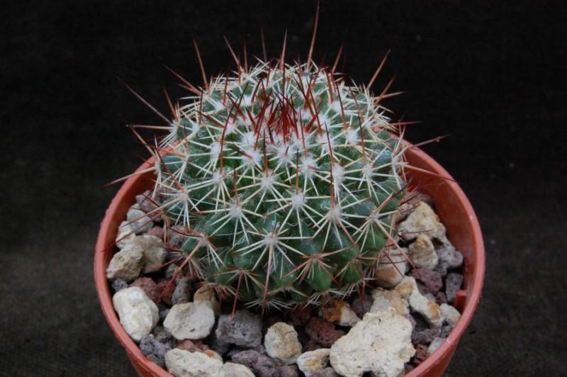Mammillaria multiseta 7521-210