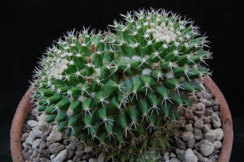 Mammillaria knippeliana 8077-210