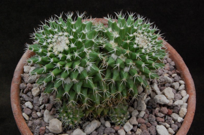 Mammillaria knippeliana 8077-211