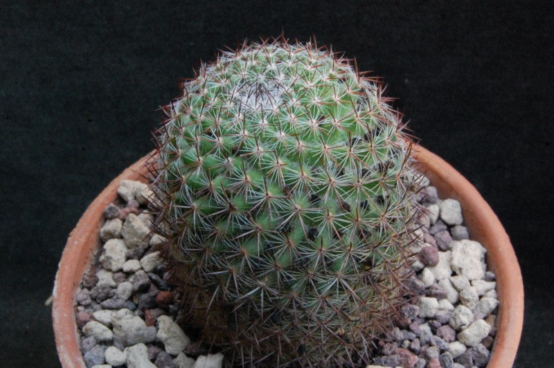 Mammillaria rhodantha 8091-211