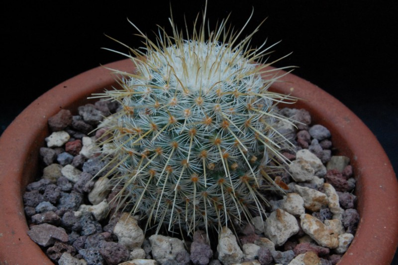 Mammillaria dixanthocentron 8116-210