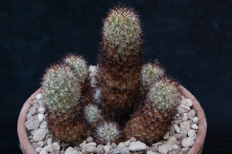 Mammillaria sphacelata 8139-211