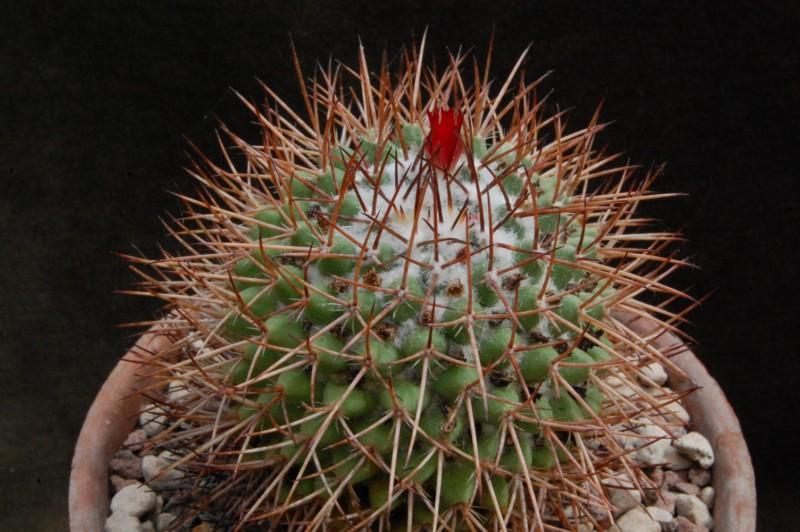 Mammillaria polythele 8151-f10