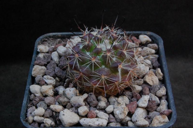 Mammillaria beneckei 8176-210