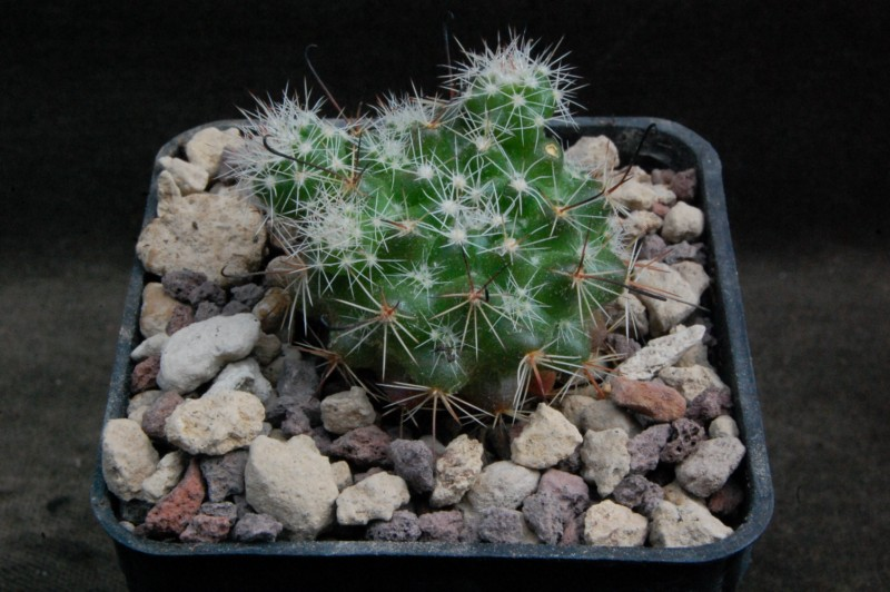 Mammillaria beneckei 8176-211