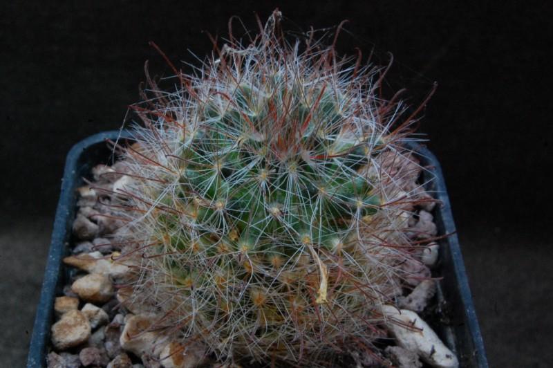 Mammillaria pubispina 8263-210