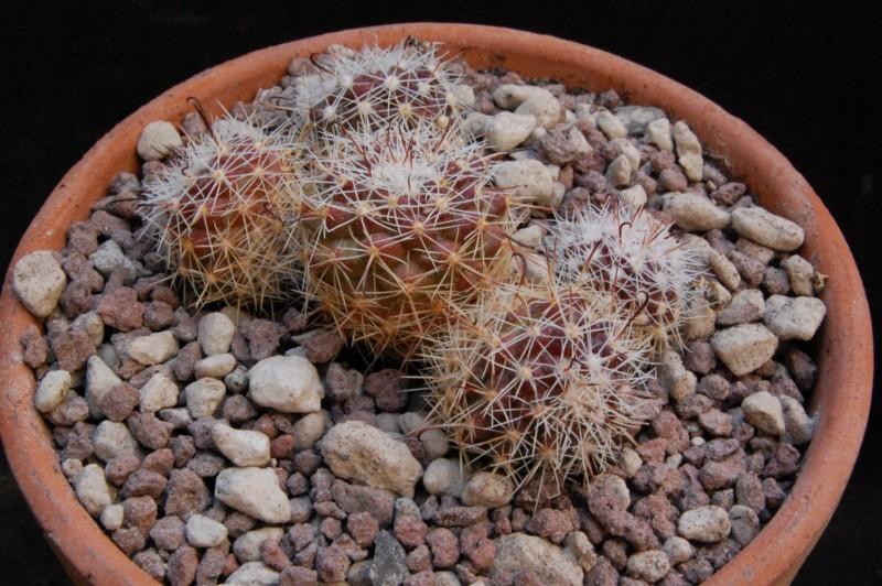 Mammillaria beneckei 8271-210