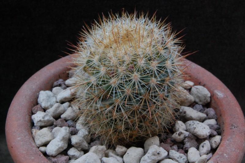 Mammillaria duoformis 8291-210