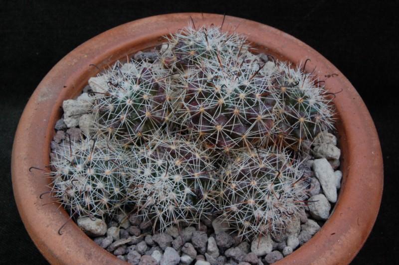 Mammillaria beneckei 8355-210
