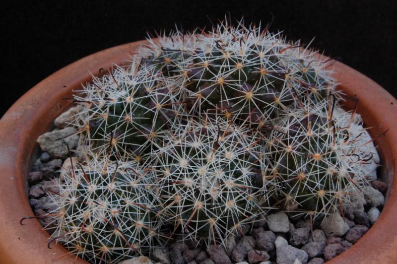 Mammillaria beneckei 8355-211