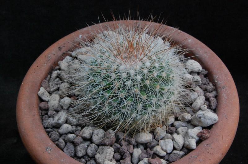 Mammillaria nunezii 8417-210