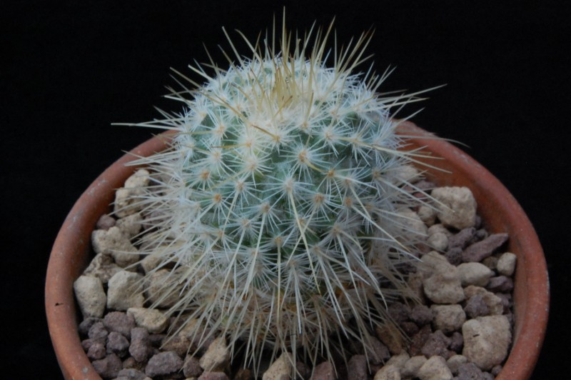 Mammillaria dixanthocentron 8601-210