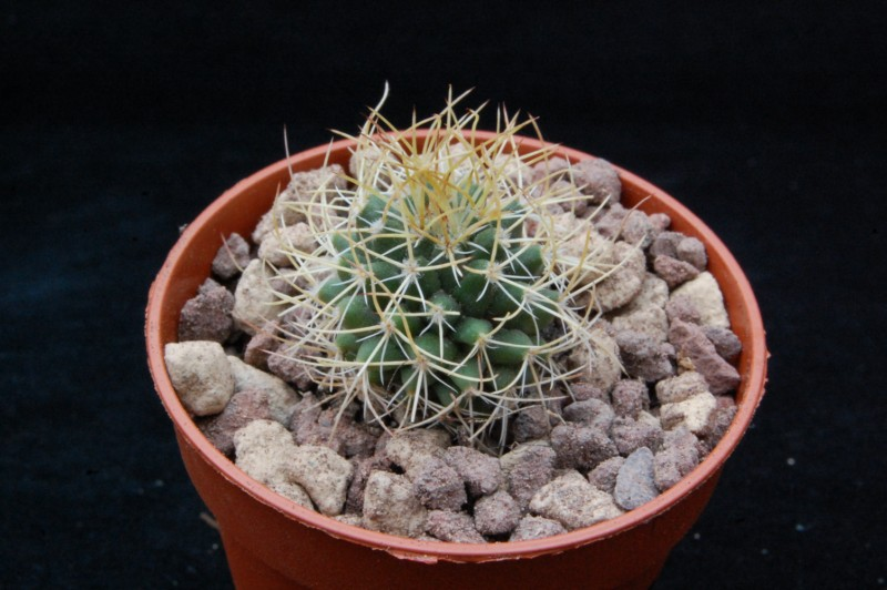 Mammillaria polythele 8632-o10