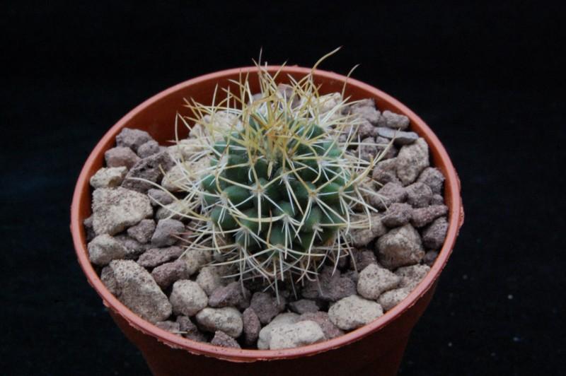 Mammillaria polythele 8632-o11