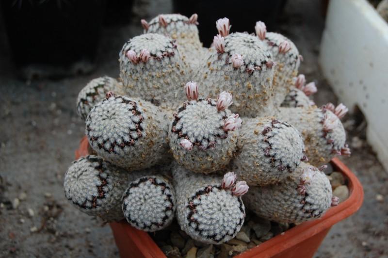 Mammillaria sanchez-mejoradae Dsc_0012