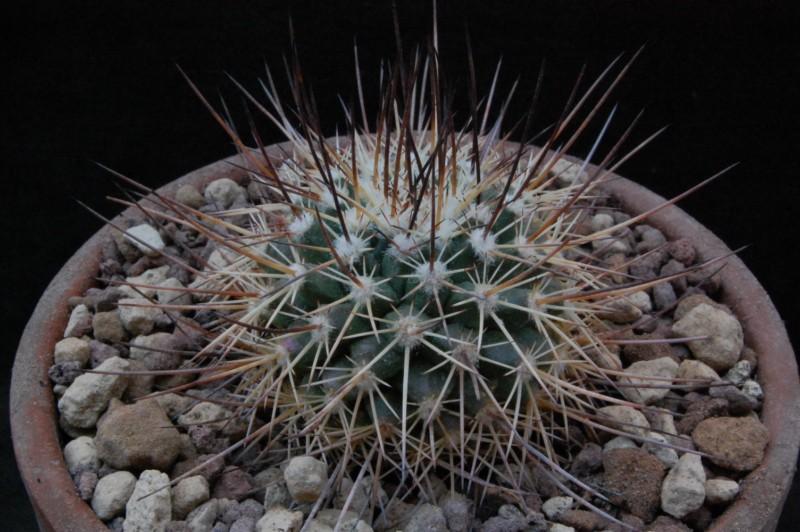 Mammillaria papasquiarensis Ho_51110