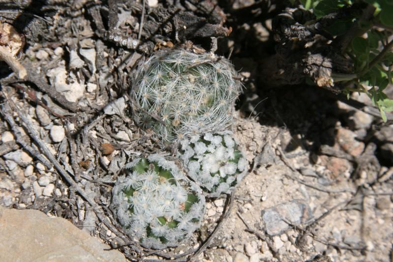 Mammillaria wohlschlageri Img_0111