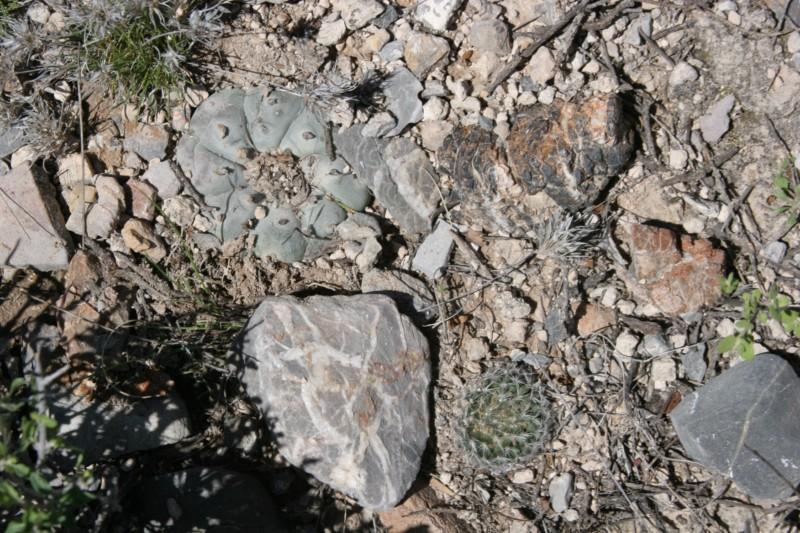 Mammillaria wohlschlageri Img_0114