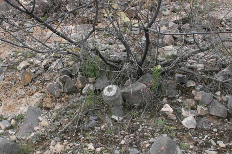Mammillaria chionocephala Img_0121