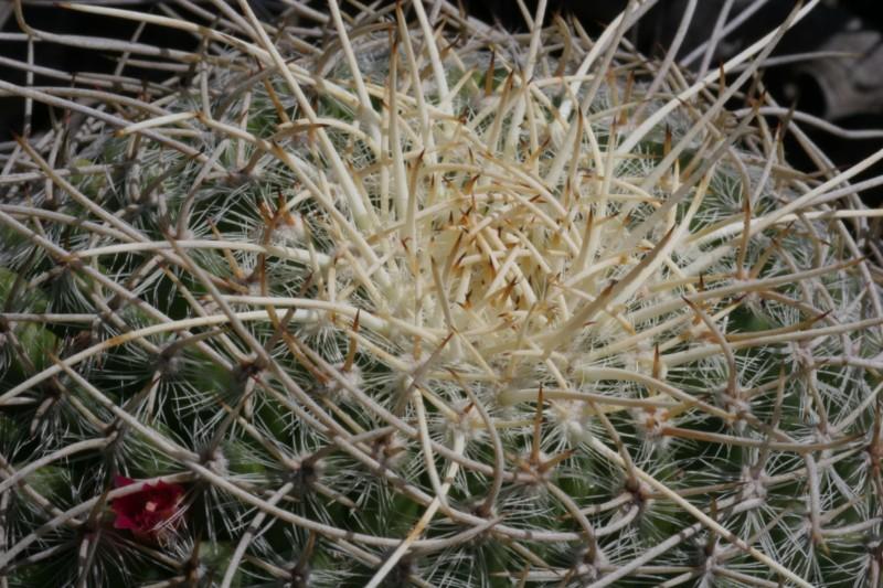 Mammillaria muehlenpfordtii Img_0219