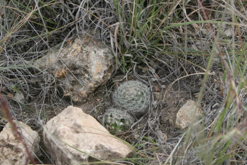 Mammillaria wohlschlageri Img_0413