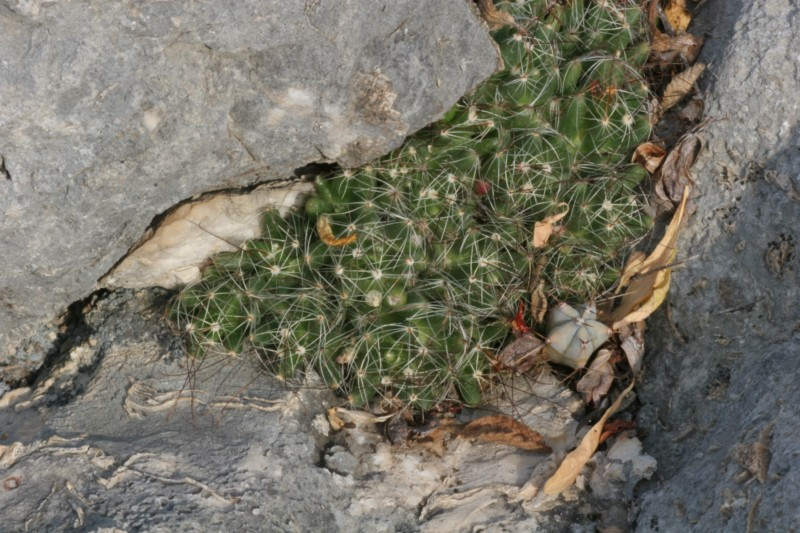 Mammillaria surculosa Img_0810