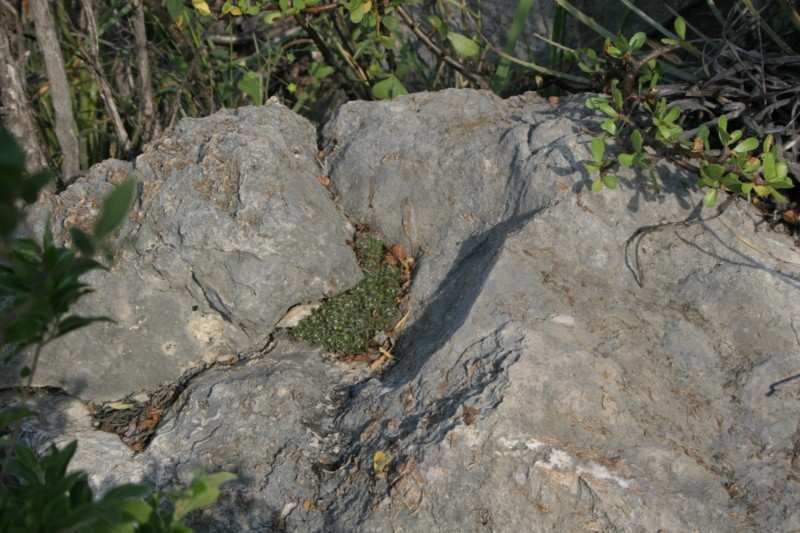 Mammillaria surculosa Img_0814