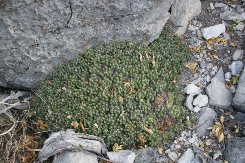 Mammillaria surculosa Img_0815