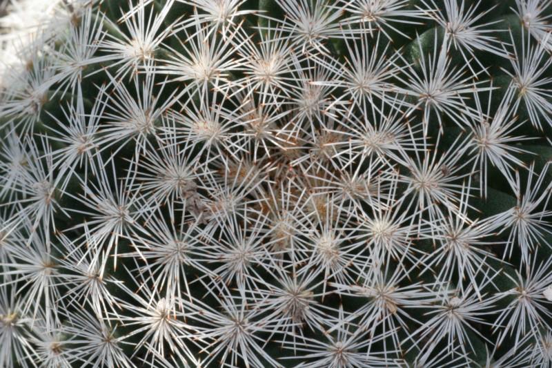 Mammillaria wohlschlageri Img_1010