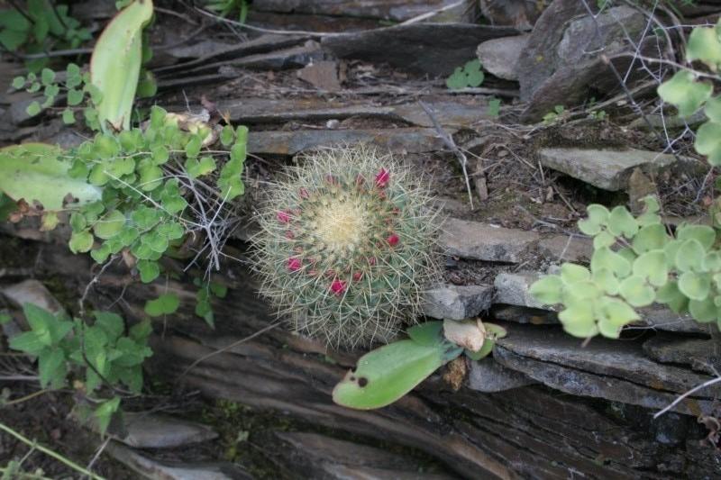 Mammillaria rhodantha Img_1414